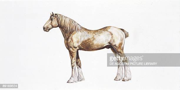 Clydesdale horse illustration