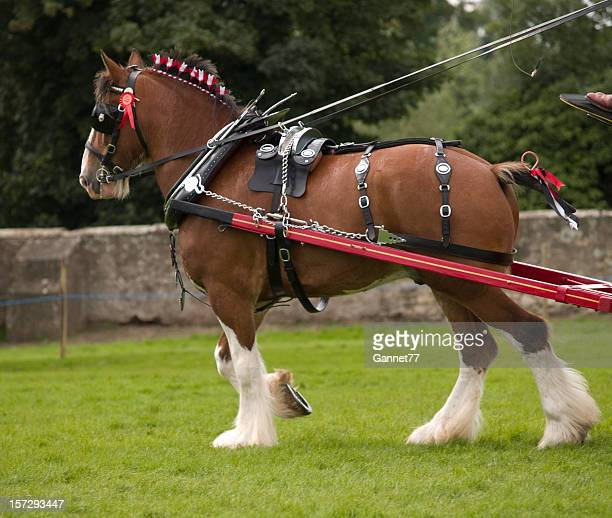 Clydesdale Horse in Harness