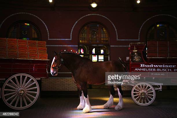 A Clydesdale horse is seen in this arranged photograph at the AnheuserBusch Budweiser bottling facility in St Louis Missouri US on Tuesday July 28...