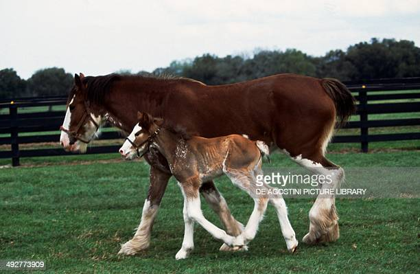 Clydesdale horse with foal Equidae