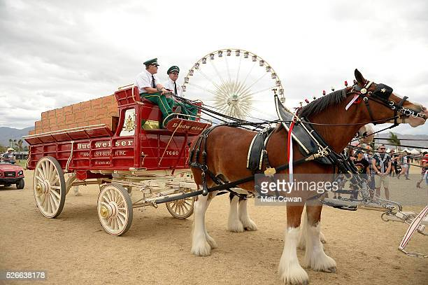 Clydesdale horses are seen during 2016 Stagecoach California's Country Music Festival at Empire Polo Club on April 30 2016 in Indio California