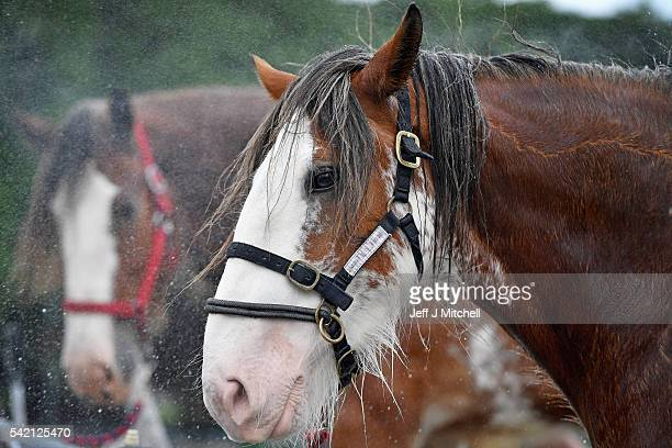 Clydesdale horses are washed of the start of the Royal Highland show at Ingliston showground on June 22 2016 in Edinburgh Scotland The 176th Royal...
