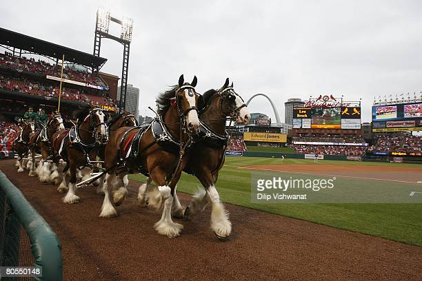 Clydesdale horses march along the field before the game against the Colorado Rockies on Opening Day at Busch Stadium March 31 2008 in St Louis...