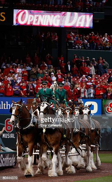 Clydesdale horses march along the field with former St Louis Cardinal great Lou Brock before the game against the Colorado Rockies on Opening Day at...
