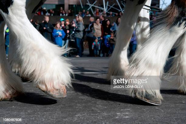 Clydesdale horses march during the National Western Stock Show KickOff Parade in Denver Colorado on January 10 2019 The parade marks the start of the...