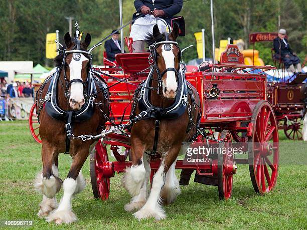 Clydesdale Pairs on display at an Agricultural Fair