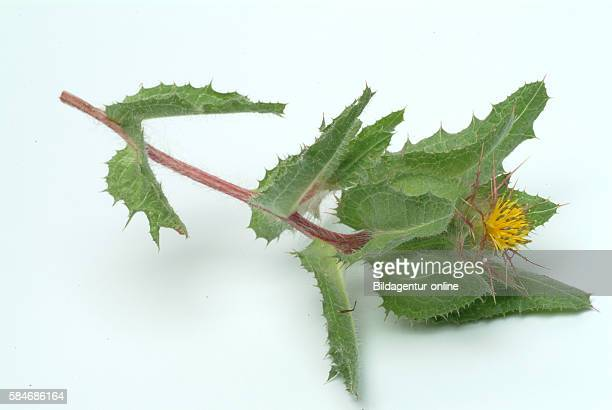 Cnicus benedictus St Benedict's thistle blessed thistle holy thistle or spotted thistle It has been used as a galactogogue to promote lactation The...