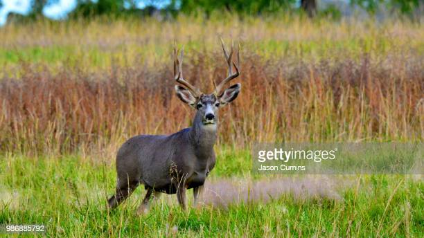 co deer - mule deer stock photos and pictures