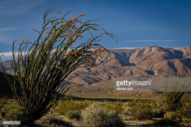 Coachwhip at Agua Caliente County Park in the AnzaBorrego desert