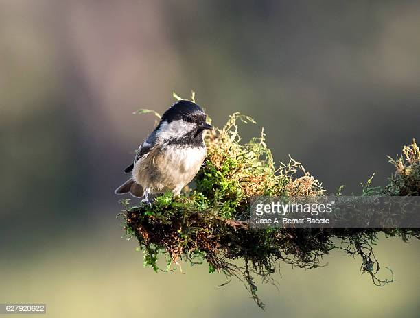 Coal Tit (Periparus ater),  adult , standing  on a branch of tree with lichens . Spain, Europe.