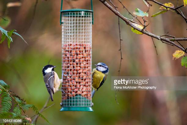 coal tit and blue tit feeding on peanuts in bird feeder - bluetit stock photos and pictures