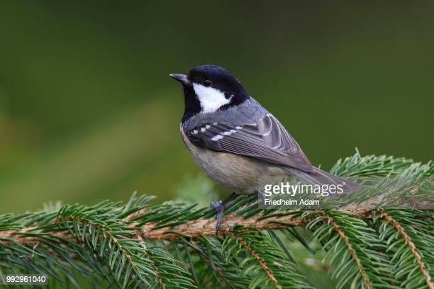 Coal Tit (Parus ater), perched on a spruce branch, Neunkirchen, Siegerland, North Rhine-Westphalia, Germany