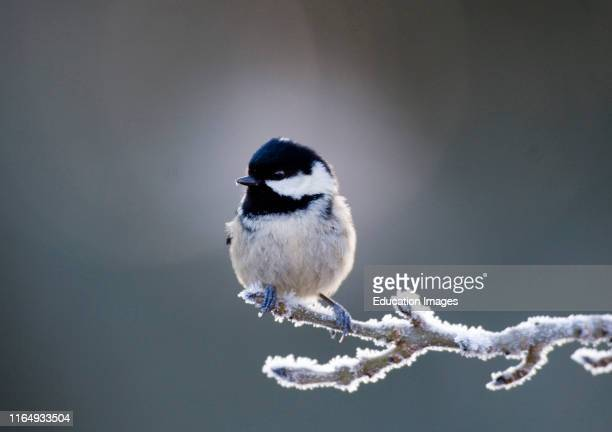 Coal Tit Periparus ater in frost Scotland winter