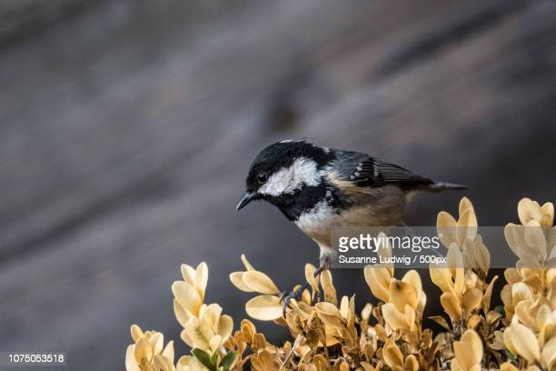 coal tit - susanne ludwig stock pictures, royalty-free photos & images