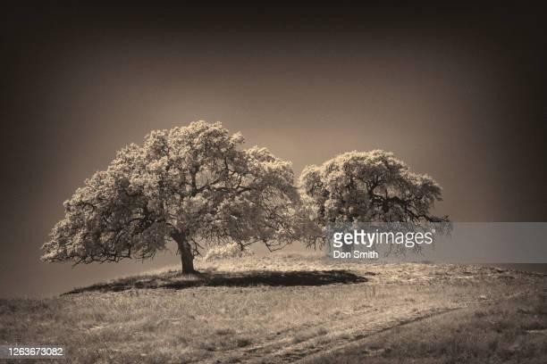 coast live oaks, san benito county - don smith stockfoto's en -beelden