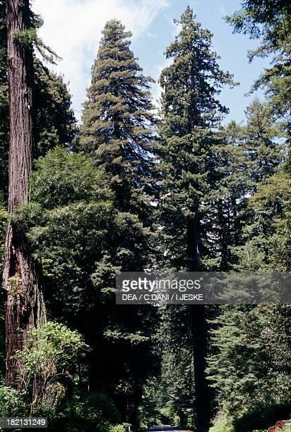 Coast Redwood California Redwood or Giant Redwood trees Taxodiaceae