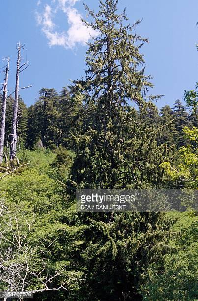 Coast redwood or California redwood Cupressaceae