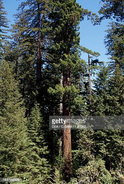 Coast redwood or California redwood Cupressaceae Redwood National and State Park California USA
