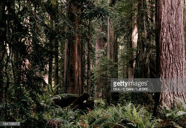 Coast redwood or California redwood forest Cupressaceae
