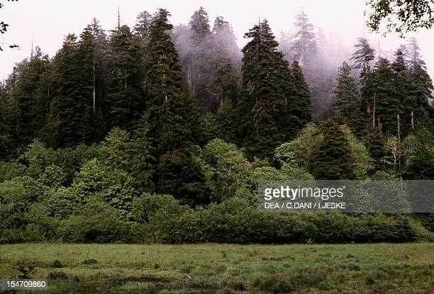Coast redwood or California redwood specimens Cupressaceae Redwood National and State Park California USA
