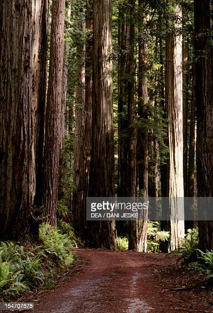 Coast redwood or California redwood trunks Cupressaceae