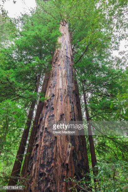 Coast Redwoods are visible around the Redwood Trail on May 27, 2010 in Big Basin Redwoods State Park near Boulder Creek, CA.