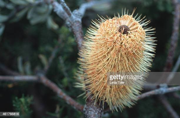 Coastal banksia an Australian native plant Growing only half a meter high this flowering shrub clings to the cliff sides and windy areas of southern...