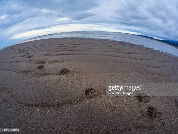 Coastal brown bear also known as Grizzly Bear Ursus Arcos footprint South Central Alaska United States of America