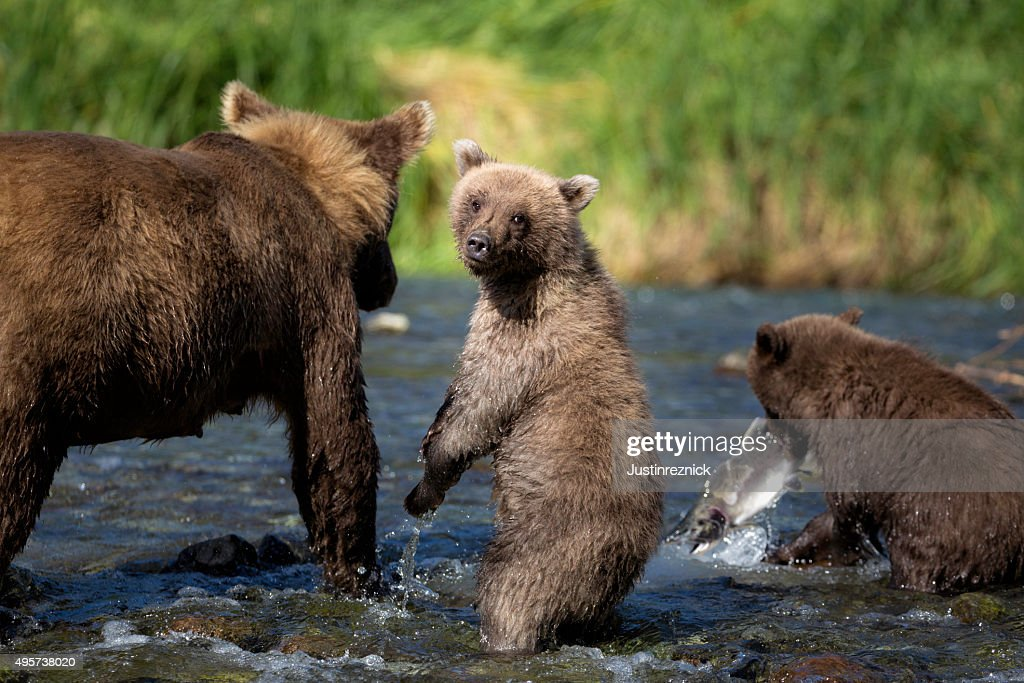 Coastal Brown Bear Family : Stock Photo