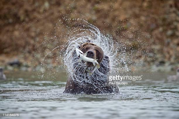 coastal brown bear, katmai national park, alaska - bear stock pictures, royalty-free photos & images