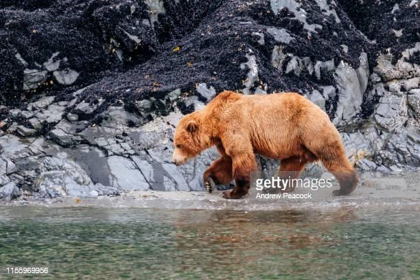 coastal brown bear (ursus arctos) - orso bruno foto e immagini stock