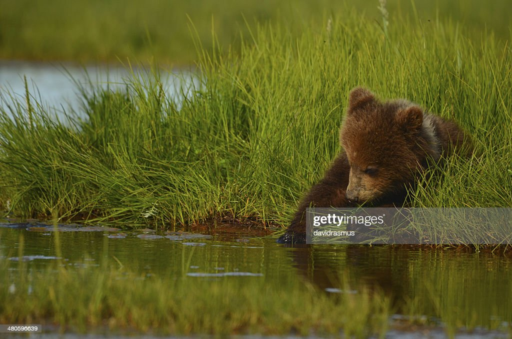 Coastal Brown Bear : Stock Photo