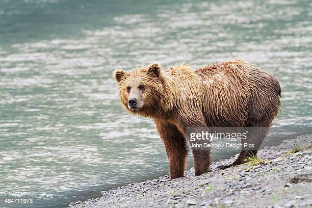 A Coastal Brown Bear Sow Stands On A Gravel Beach Next To The Horn River Looking For Fish In Lake Clark National Park & Preserve Chinitna Bay