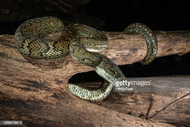 Coastal Carpet Python (Morelia spilota)