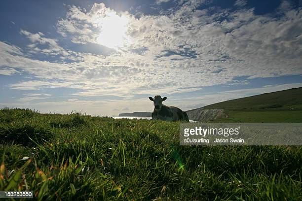 coastal cow - s0ulsurfing stock pictures, royalty-free photos & images
