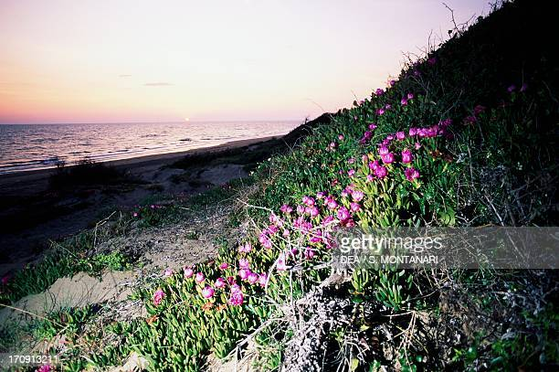 Coastal dune at sunset with blooming Highway iceplant near Lake of the Monks National Park of Circeo Lazio Italy