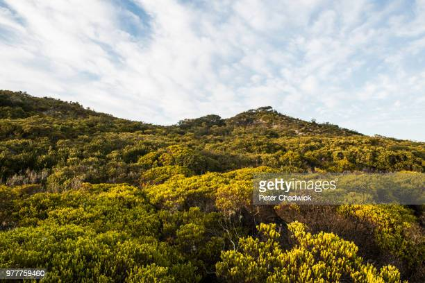 coastal duneveld vegetation, de mond nature reserve, western cape, south africa - fynbos fotografías e imágenes de stock