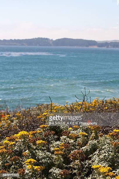 coastal flowers at big sur california - llanura costera fotografías e imágenes de stock