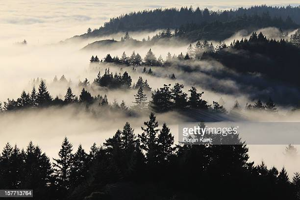 coastal fog - redwood tree stock photos and pictures