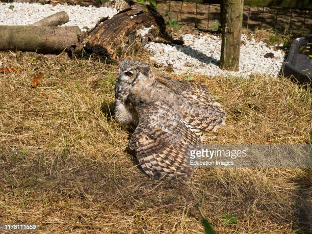 Coastal Great Horned Owl, Bubo virginianus saturatus camouflaged against the grass at Tamar Otter & Wildlife Centre, North Petherwin, Nr. Launceston,...