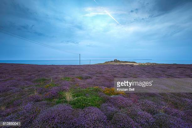 Coastal Heather in Channel Islands