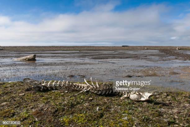 Coastal landscape, seal skeleton, bay, Diskobukta, Edgeoeya Island, Svalbard, Spitsbergen, Norway