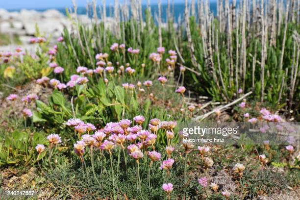 coastal landscape with close-up on the pink flower seaside daisy (erigeron glaucus) - exotic_species stock pictures, royalty-free photos & images