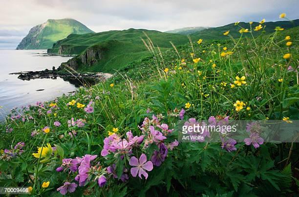 Coastal paintbrush and wild geranium, Aleutian Islands, Alaska