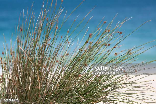 coastal - reed grass family stock pictures, royalty-free photos & images
