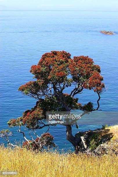 Coastal Pohutukawa tree