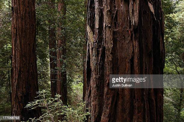 Coastal Redwood trees stand at Muir Woods National Monument on August 20 2013 in Mill Valley California A fouryear study by the Save the Redwoods...