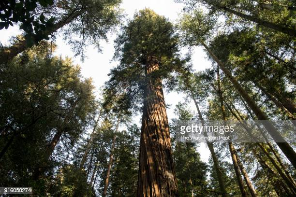 Coastal Redwoods stand in the Henry Cowell Redwoods State Park on January 26 2018 in Felton California