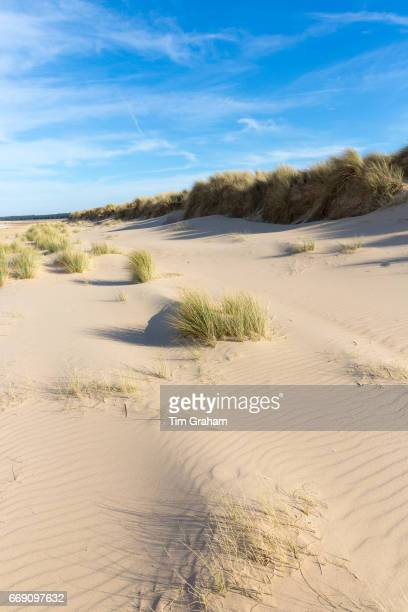 Coastal sand dunes with Marram Grass one of the Ammophila grasses at Sandy Holkham Beach North Norfolk coast England