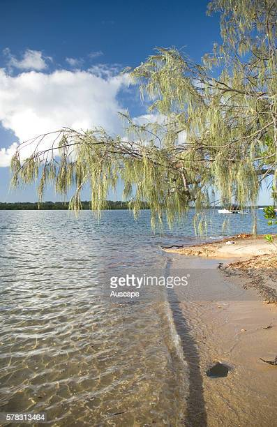 Coastal she-oak, Casuarina equisetifolia, tolerant to the salt and poor soil of the banks of the Elliott River, Queensland, Australia.